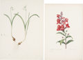 Antiques:Posters & Prints, Pierre Joseph Redouté. Four prints. Two etchings and two lithographs. All very good.... (Total: 4 Items)