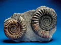 Fossils:Cepholopoda, PAIR OF BRITISH AMMONITES. ...