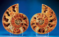Fossils:Cepholopoda, VERY LARGE AMMONITE PAIR: CUT & POLISHED. ...