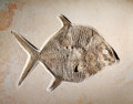 Fossils:Fish, EXCEPTIONAL MOONFISH FOSSIL. ...