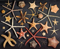 Zoology:Osteology, STARFISH DISPLAY CASE. ...