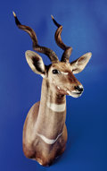 Zoology:Taxidermy, LESSER KUDU SHOULDER MOUNT. ...