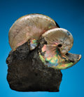 Fossils:Cepholopoda, A PAIR OF EXQUISITE HOPLOSCAPHITES ON MATRIX. ...