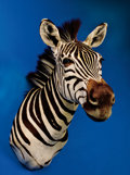 Zoology:Taxidermy, ZEBRA SHOULDER MOUNT. ...