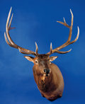 Zoology:Taxidermy, RECORD BOOK ELK SHOULDER MOUNT. ...