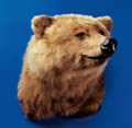 Zoology:Taxidermy, GRIZZLY BEAR SHOULDER MOUNT. ...