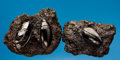 Fossils:Arthropoda, A FINE TRIO OF LA BREA TAR PIT BEETLES . ...