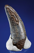 Dinosauria:Triassic, A MASSIVE T. REX TOOTH. ...
