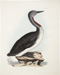 "Antiques:Posters & Prints, Prideaux John Selby. Red Throated Diver - Plate LXXVIII. Hand-colored engraving. Watermarked ""J Whatman 1846."" In generally ..."