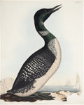 "Antiques:Posters & Prints, Prideaux John Selby. Northern Diver, Adult - Plate LXXVI.Hand-colored engraving. Watermarked ""J Whatman 1846."" Ingenerally..."