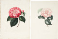 Antiques:Posters & Prints, J. J. Jung. Four Camellia Prints. Four hand-colored stipple engravings from Iconographie du Genre Camellia. All very goo... (Total: 4 Items)