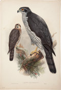 Antiques:Posters & Prints, John Gould. Astur Palumbarius. Hand-colored lithograph from Gould'sBirds of Great Britain. Very good....
