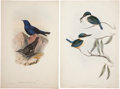 Antiques:Posters & Prints, John Gould. Four Prints: Grandala Cœlicolor. [and:] HalcyonSanctus. [and:] Garrulax Pœcilorhyncha. [and:] Little ... (Total: 4Items)