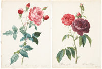 Pierre Joseph Redouté (1759-1840). Four Rose Prints: Rosa Indica. [and:] Rosa Gallica (Purpuro-violacea magna). &...