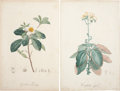 Antiques:Posters & Prints, Pierre-Joseph Redouté. Two Prints: Gordonia Pubescens. [and:]Cotyledon Crenata. Two stipple engravings with hand-colori...(Total: 2 Items)