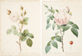 Antiques:Posters & Prints, Pierre Joseph Redouté (1759-1840). Four Rose Prints: Rosa Muscosa alba. [and:] Rosa Indica fragrans. [and:] Rosa Turbi... (Total: 4 Items)