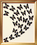 Zoology:Mounted Insects, EXOTIC BUTTERFLY SWARM. ...