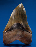 Fossils:Fish, FINE MEGALODON TOOTH. ...