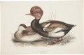 Antiques:Posters & Prints, John Gould (1804-1881). Red-Crested Duck.. Hand-colored lithographfrom Gould's Birds of Great Britain (London: 1862-1...
