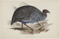 Antiques:Posters & Prints, John Gould (1804-1881). Two Prints: Numida Vulturina. [and:]Ceriornis Temminckii.. A pair of very attractive hand-col...(Total: 2 Items)