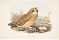 Antiques:Posters & Prints, John Gould. Brachyotus Palustris. Hand-colored lithograph fromGould's Birds of Great Britain. In excellent conditio...
