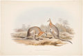 Antiques:Posters & Prints, John Gould. Halmaturus Dorsalis: Gray. A hand-colored lithographfrom Gould's Mammals of Australia. Very good....