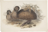 John Gould (1804-1881). Apteryx Australis.  A wonderful hand-colored lithograph of the Kiwi, from Gould's Bi