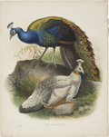 Antiques:Posters & Prints, Daniel Giraud Elliot (1835-1915). Pavo Nigripennis.. A fabuloushand-colored lithograph from Elliot's Monograph of the P...