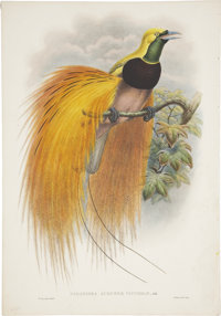 John Gould (1804-1881). Paradisea Augustæ Victoriæ.  A stunning and vivid hand-colored lithograph of the Emp...