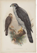 Antiques:Posters & Prints, John Gould (1804-1881). Astur Palumbarius.. A beautiful hand-colored lithograph of the Goshawk from Gould's Birds of Gre...
