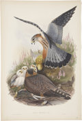 Antiques:Posters & Prints, John Gould (1804-1881). Falco Aesalon.. A tremendous lithograph ofthe Merlin with still-vibrant hand-coloring from Gould'...