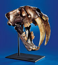 AN EXTREMELY RARE SABRE-TOOTHED TIGER SKULL - THE GREAT AMERICAN FOSSIL