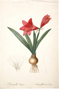 Antiques:Posters & Prints, Pierre-Joseph Redouté (1759-1840). Amaryllis Reginæ.. A bold and lovely stipple engraving with hand-coloring, from Les L...