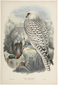 Antiques:Posters & Prints, John Gould (1804-1881). Two Prints: Falco Candicans (Adult). [and:]Falco Candicans (Young).. A pair of hand-colored l... (Total: 2Items)