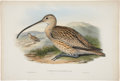 Antiques:Posters & Prints, John Gould (1804-1881). Numenius Rufescens.. A charminghand-colored lithograph from Gould's Birds of Asia (London:18...