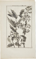 Antiques:Posters & Prints, Cornelis de Bruin Copper Engraving of a Coffee Plant. Plate size 7x 12 inches, 9.5 x 16 inches overall. Fine condition....