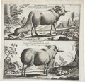 Antiques:Posters & Prints, Copperplate Engraving of Ethiopian Sheep Varieties. 14.5 x 14inches. This exceptional copper engraving features two variet...