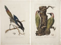 Antiques:Posters & Prints, Cornelius Nozeman (1721-1786). Four Prints: Pica. [and:] PicusMartius. [and:] Palumbus. [and:] Oenas, Vinago, Liv... (Total: 4Items)