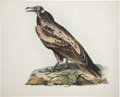 Antiques:Posters & Prints, Prideaux John Selby (1788-1867). Egyptian Neophron - Plate A....