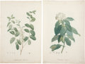 Antiques:Posters & Prints, Pierre-Joseph Redouté. Two Prints: Andromeda Pulverulenta. [and:] Viburnum Rigidum. Two stipple engravings with hand-col... (Total: 2 Items)