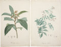Antiques:Posters & Prints, Pierre-Joseph Redouté. Two Prints: Mespilus Japonica. [and:]Bignonia Pandorea. Two stipple engravings with hand-colorin...(Total: 2 Items)