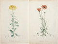Antiques:Posters & Prints, Pierre-Joseph Redouté. Two Prints: Calendula Chrysanthemifolia.[and:] Calendula Flaccida. Two stipple engravings with h... (Total:2 Items)