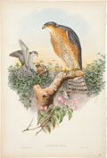 Antiques:Posters & Prints, John Gould (1804-1881). Two Prints: Accipiter Nisis [sic]. [and:] Tinnunculus Alaudarius.. Two lovely hand-colored... (Total: 2 Items)