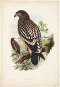 Antiques:Posters & Prints, John Gould (1804-1881). Aquila Nævia.. Hand-colored lithograph from Gould's Birds of Great Britain (London: 1862-1873)...