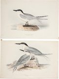 Antiques:Posters & Prints, John Gould. Four Prints: Gull Billed Tern. [and:] Sandwich Tern.[and:] Fulmar Petrel. [and:] Aegialitis Monachus.... (Total: 4Items)