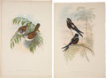 Antiques:Posters & Prints, John Gould. Four Prints: Paradoxornis Gularis. [and:]Dendrochelidon Comatus. [and:] Ruticilla Erythrogastra. [and:]...(Total: 4 Items)