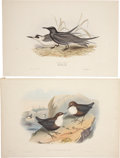Antiques:Posters & Prints, John Gould. Four Prints: Black Tern. [and:] Cinclus Cashmeriensis.[and:] Turnstone. [and:] Cream Coloured Courser... (Total: 4 Items)