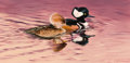 Paintings, GUY JOSEPH COHELEACH (American, b. 1933). Hooded Mergansers. Oil on canvas. 12 x 24 inches (30.5 x 61.0 cm). Signed lowe...