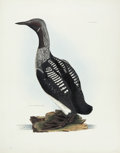 Antiques:Posters & Prints, Prideaux John Selby. Black Throated Diver - Plate LXXVII. Hand-colored engraving from Selby's Illustrations of British Orn...