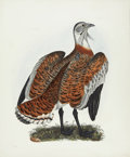 Antiques:Posters & Prints, Prideaux John Selby. Male Bustard - Plate LXIV. Hand-coloredengraving from Selby's Illustrations of British Ornithology...
